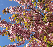 image of cherry blossom